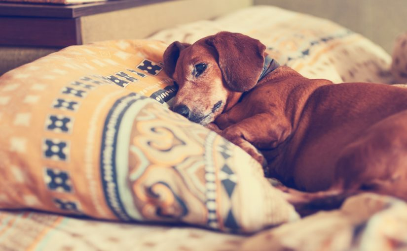Managing Your Dog's Cushing's Disease