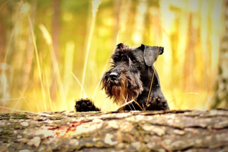 dog breeds cushings disease
