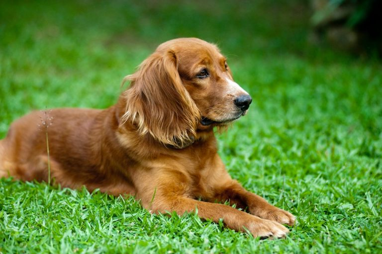 Cushing's Disease Causes Thin Skin in Dogs